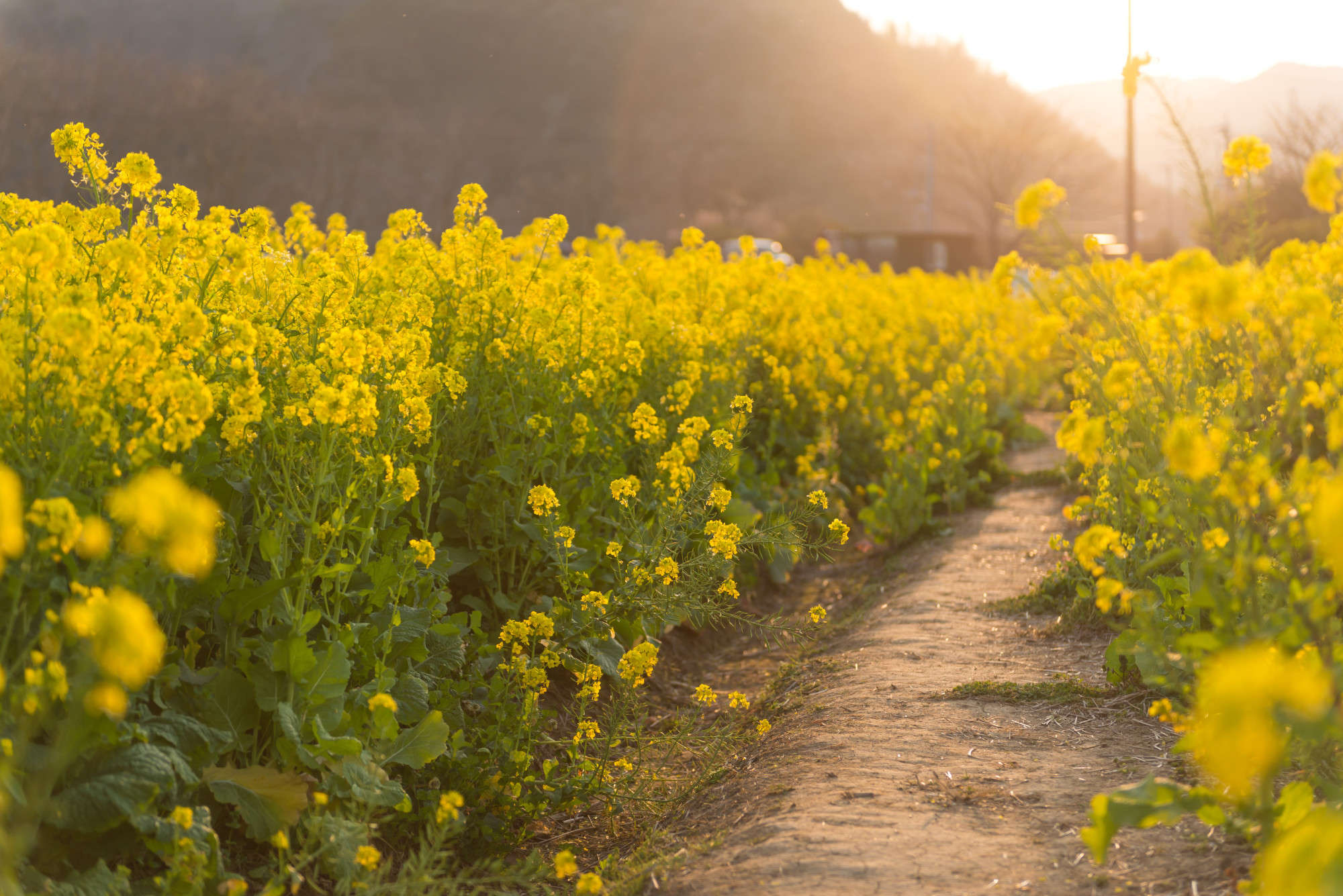 Mustard Plant Images - Reverse Search
